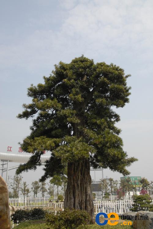 尧塘公路花园内的镇园之宝——价值100多万元的日本千年罗汉树,树
