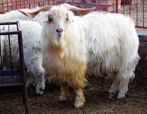 德绒山羊_这是鄂尔多斯的\
